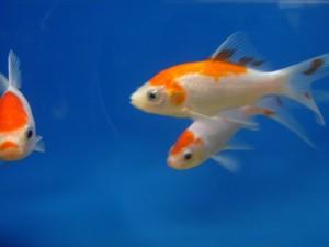 goldfish 3