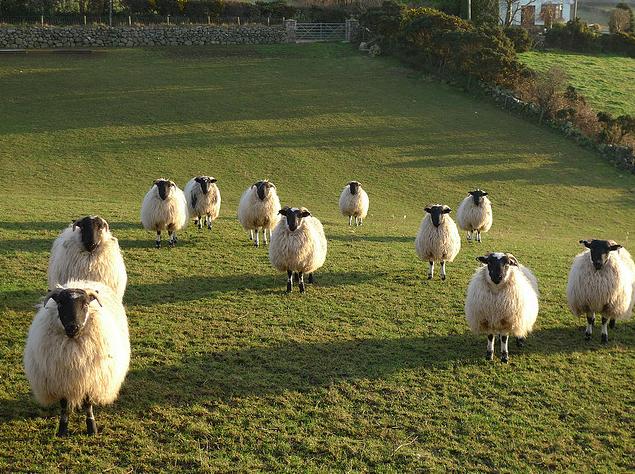 Sheep by Anne Marie Cunningham