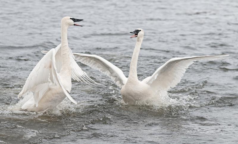 Swan Conflict
