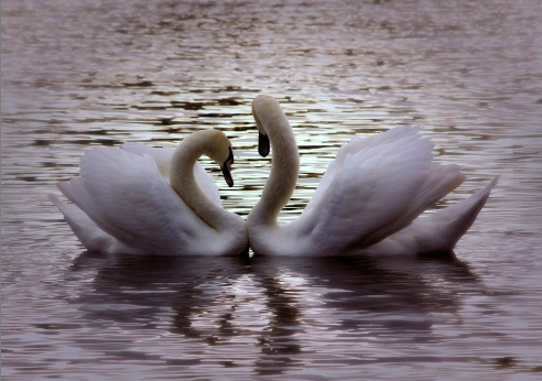 getty swans